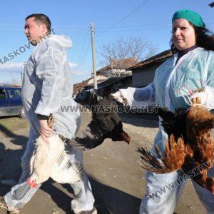40 хил. кокошки носачки засегнати от птичи грип в село Криво поле