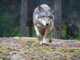 Експертна среща в Свиленград заради нападения от вълци