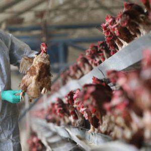 Силно заразна и смъртоносна форма на птичи грип се разпространява бързо из Европа