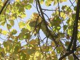 Спасиха еднометрова игуана на висок клон в Стара Загора